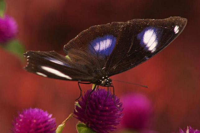 Borneo-butterfly-1